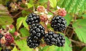 Ежевика садовая: 5 золотых правил посадки и ухода, агротехника
