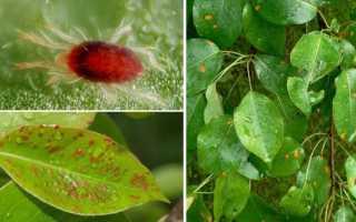 Галловый клещ на груше: фото, средства борьбы, препараты