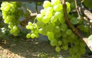 Виноград Белое чудо: селекция, описание сорта, правила посадки и особенности ухода, достоинства и недостатки, отзывы