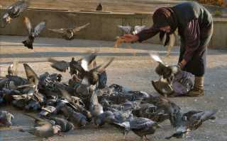 Чем кормить голубей: что можно давать, а что нет?