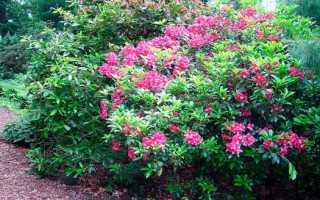 Кальмия широколистная: фото, сорта, выращивание и уход
