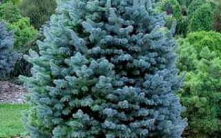 Какие бывают декоративные хвойные деревья и кустарники