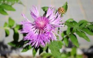 Василек луговой: полезные свойства, описание, фото