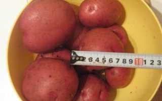 Характеристика, описание, урожайность, отзывы и фото сорта картофеля «Кураж»