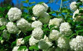 Размножение калины бульденеж черенками: посадка и уход за растением