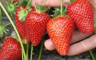 О лучших сортах клубники, выращиваемых в открытом грунте в Подмосковье