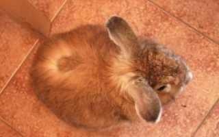 Лишай у кролика: стригущий лишай, лечение, симптомы