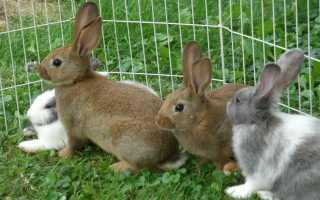 Какие породы кроликов можно скрещивать между собой: правильная технология