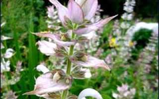 Шалфей мускатный: выращивание и использование