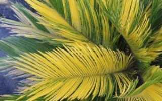Что делать если у цикаса желтеют листья: как спасти вечнозеленое растение