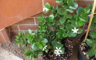 Карисса, инструкция по уходу, Инструкции по уходу за экзотическими растениями