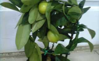 Лимонелла комнатная, инструкция, Инструкции по уходу за экзотическими растениями