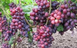 Виноград Заря несветая: описание сорта, особенности выращивания