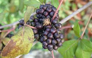 Растение элеутерококк: лечебные свойства и противопоказания, фото, посадка и уход