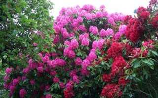 Рододендрон кавказский: полезные свойства и противопоказания, применение в народной медицине