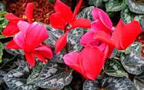 Цветок цикламен: уход в домашних условиях, фото, пересадка, размножение, почему желтеет