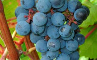 Фото виноградных вредителей, методы борьбы с клещом, зуднем, осами видео