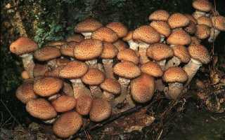 Как отличить ложные опята от настоящих? Основные правила сбора съедобных грибов