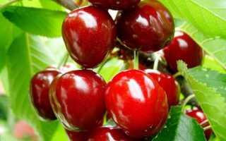 Вишня Тургеневка: описание сорта и характеристика