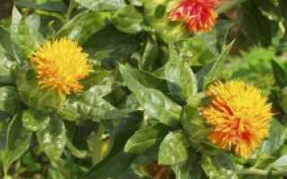 Сафлор красильный — лечебные свойства и противопоказания, применение