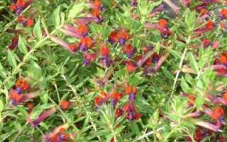 Куфея цветок уход в домашних условиях обрезка и размножение