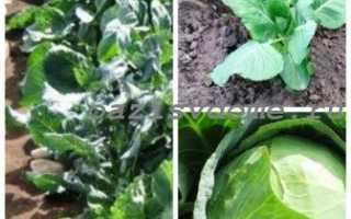 Чем подкормить капусту для роста и формирования кочана: 4 подкормки капусты в открытом грунте народными средствами и удобрениями