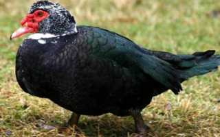 Индоутки на мясо: способы забоя птицы и ощипывания тушки