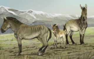 Лошадь Пржевальского: описание, особенности и интересные факты