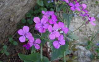 Цветок лунария: общая информация о растении и его сорта, выращивание и посадка в домашних условиях