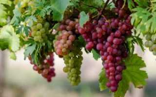 Уход за виноградом весной: лучшие советы