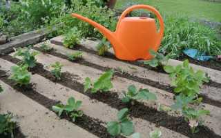 Полив клубники: можно ли и как часто поливать во время цветения
