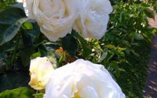 Роза «Шопен»: описание, фото, уход за чайно-гибридной розой