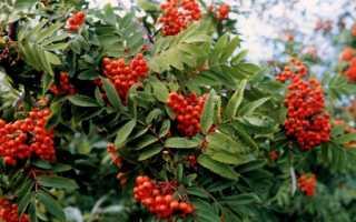 Рябина красная обыкновенная: полезные свойства и противопоказания, лечебные свойства
