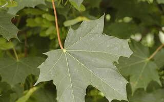 Клён остролистный: фото, описание и сорта дерева