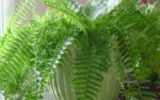Папоротник комнатный: польза и вред, для здоровья человека домашнего растения
