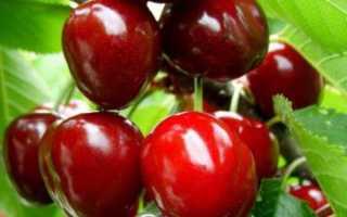 Сорт вишни Чудо-вишня: описание растения, посадка и уход