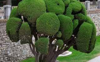 Виды и сорта кипариса для сада — описание и фото, видео