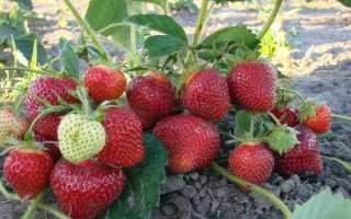 Клубника: уход весной и советы бывалых садоводов, обработка от болезней и вредителей