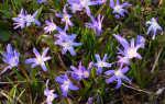 Как вырастить хионодоксу в саду в Подмосковье: посадка и уход