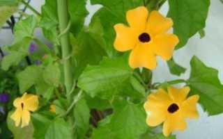 Тунбергия: посадка и уход, выращивание в домашних условиях — Популярно о здоровье