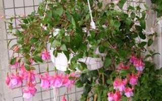 Выращивание ампельной фуксии: описание, размножение и уход, фото цветов
