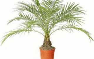 Проблемы при выращивании финиковой пальмы: болезни и насекомые-вредители