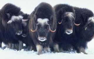 Чем питается овцебык? Овцебык в природе