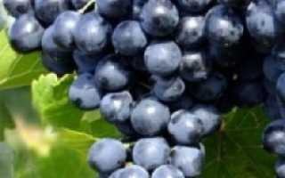 Сорт винограда «Молдова»