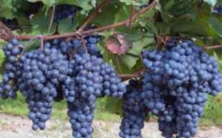 Виноград — декабрьский: особенности сорта и специфика выращивания с фото и отзывами
