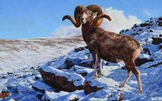 Алтайский горный баран Красной Книги России – описание и фото