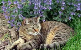 Основные виды и сорта котовника (с фото)