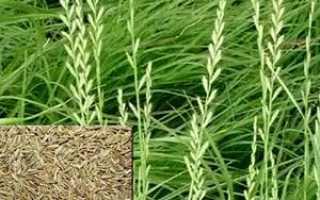 Райграс многолетний пастбищный: описание травы, сферы использования