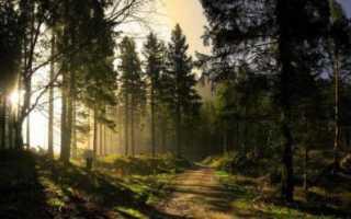Живица сосновая: лечебные свойства и противопоказания