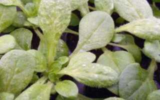 Как бороться с мучнистой росой на петунии, Советы садоводам